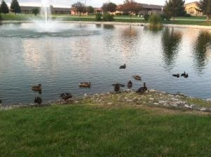 Pause for ducks.